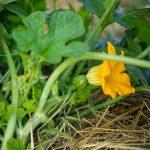 Garden - Acorn Squash
