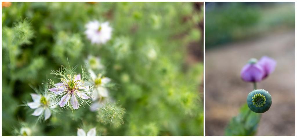 Love-In-A-Mist and Poppy in Kansas garden